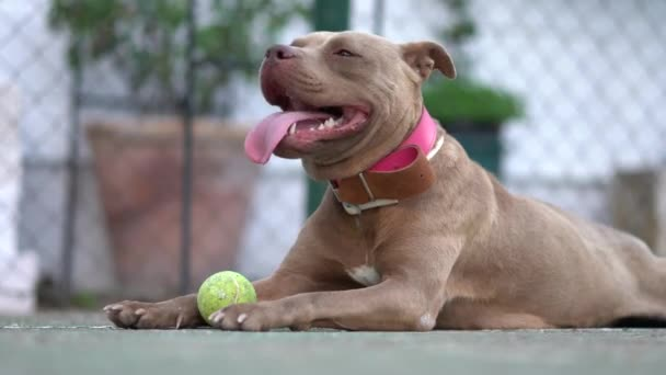 Pit Bull with Ball